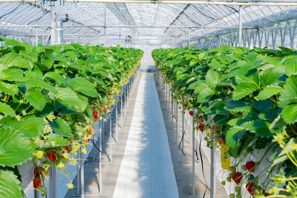 Modern farming, agricultural business, a greenhouse full of plants
